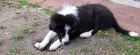 Shelby-puppy-header1